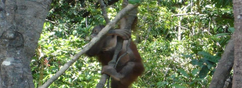 Rainforest Wildlife-the Orangutan